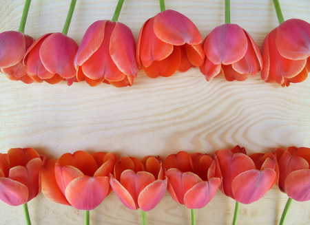 Beautiful red-pink tulips with a bright edge are laid out in two rows on a wooden surface. view from above. There is a place for the inscription. beautiful background