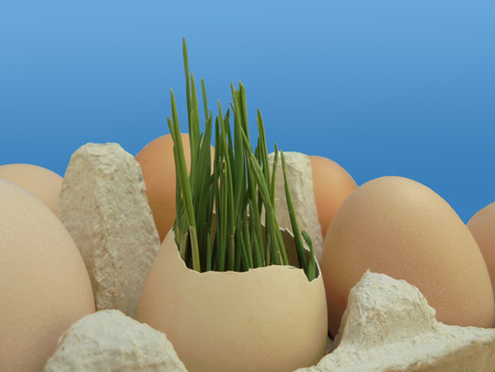 young wheat germ in eggshell in tray with chicken eggs on blue background. symbol of new life
