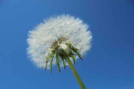 beautiful fluffy dandelion with seeds against the blue sky. warm summer day
