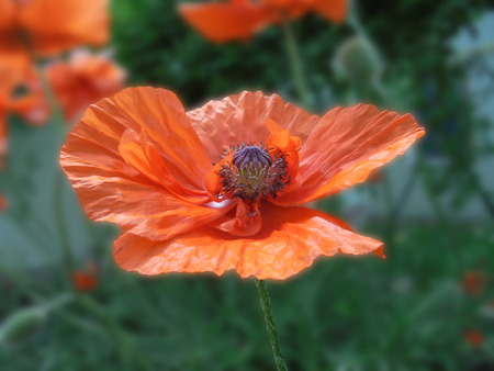 beautiful orange poppy flower with a box of seeds and stamens close-up on a blurred background
