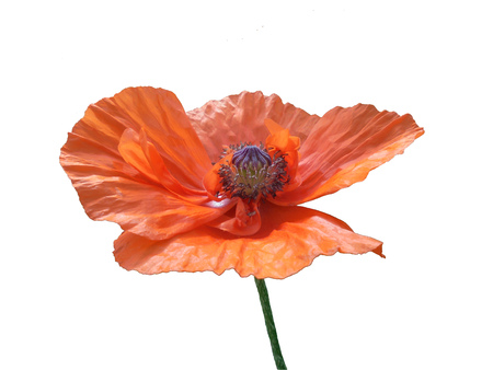 beautiful isolated orange poppy flower with a box of seeds and stamens close up on a white background Stock Photo