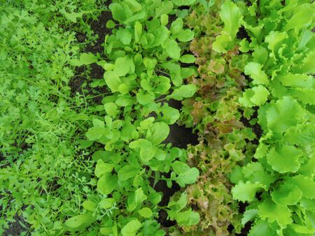 young fresh leaves of different types of lettuce cress lettuce arugula green curly and red coral Stock Photo