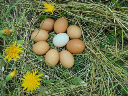 eight brown and one white homemade chicken egg lie on dry grass with yellow flowers Stock Photo