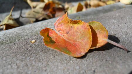 Two beautiful red-orange leaves of black chokeberry lit by the sun lie on the walkway tile. selective focus in the center of the picture. defocus background