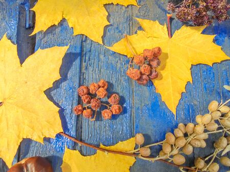 yellow maple leaves and dry rowan fruits and silver fruits of a sucker on a blue old wooden background