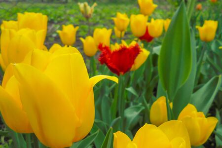 many yellow tulips blooming in the garden. focus in the foreground the rest of the yellow and red tulips blurred