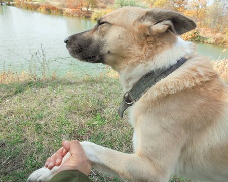 domestic dog of light brown color with squinted eyes and ears pressed gives the owner a paw on the background of the lake and dry grass