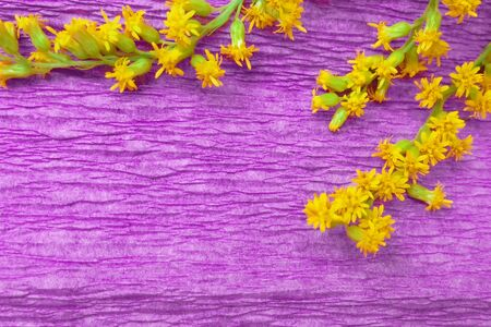 bright yellow Solidago canadensis flowers on purple corrugated paper background Stock Photo