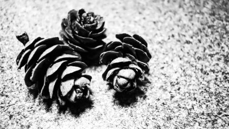 black and white photo. three cones of larch on a background of gray stone. selective focus in the center