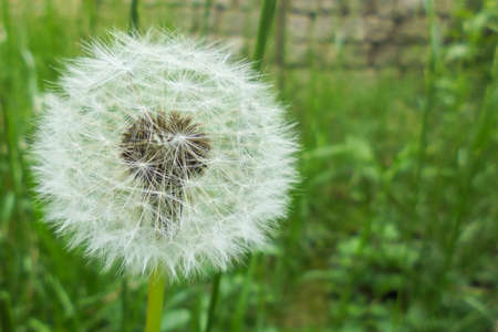 white dandelion, dandelion seeds are collected in a round inflorescence on a blurred background of green grass