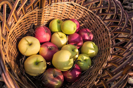 a wicker basket with apples of red, green, yellow in autumn stands on the ground in the garden. view from above Zdjęcie Seryjne