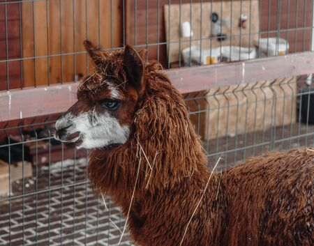 brown alpaca large clan looks sideways at the photographer