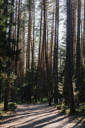 pine forest pine wood pine and spruce the suns rays and light penetrate the branches and foliage 版權商用圖片