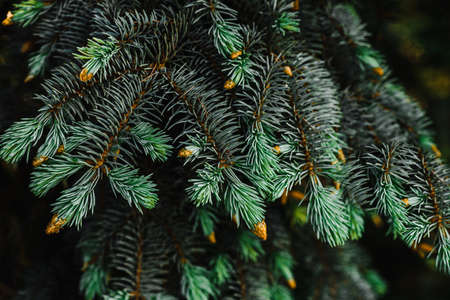 young branches of blue spruce with small buds of cones close-up texture for decor and design
