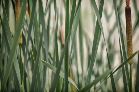 Reeds on the Lake . Swamp, reeds, water, plant, horsetail, green grass in the swamp, lake and river.