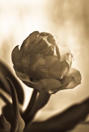 Tulip  Sepia  Soft focus  photo