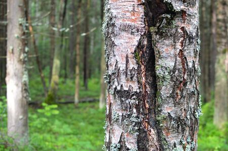 Magic and mysterious wild wood. High coniferous and deciduous trees. The pacified morning in the forest. Green background and landscape. Russian reserved places