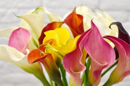 Beautiful fresh natural calla flowers. Romantic multi-colored calla lilies on a white background.