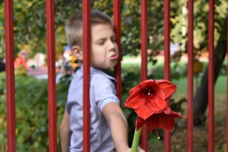 Boy behind the fence with a red flower.
