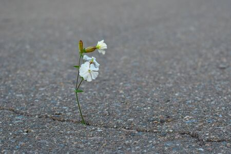 A wild thin flower sprouts through the road. Life is made of stone. Flowers grow on the stone. Stock fotó