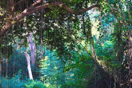 Beautiful tropical jungle. Hanging of the green forest in the tropics