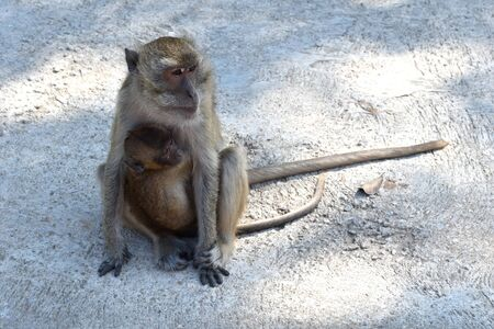 a mother monkey carries her baby on her stomach. materinstvo in monkeys