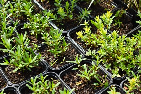 small green plants for the garden. The market for agriculture and garden