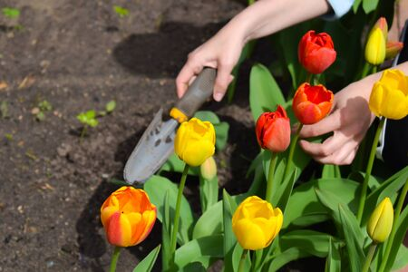 garden tools. Red tulips in the garden. horticulture in the summer on the nature