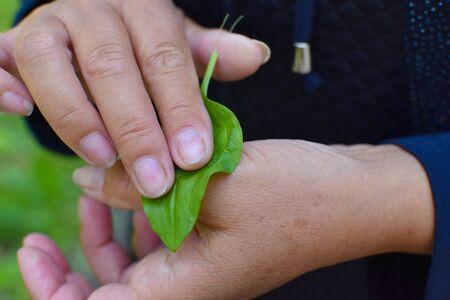 female gardener put a leaf of plantain on her hand with a wound. Healing herbs Standard-Bild