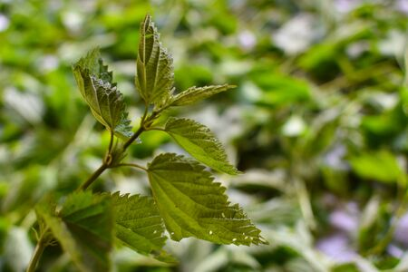 field grass for health, non-traditional medicine by garden plants. fresh nettle