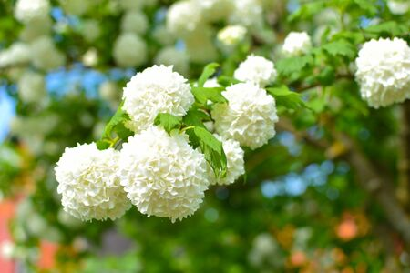 White natural flower buds on trees. Beautiful nature summer background.