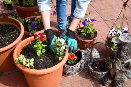 Hobby gardening. planting seedlings of garden flowers. Decorative flowers in the garden Archivio Fotografico