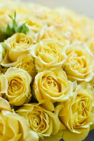 Yellow fresh roses background, delicate beautiful flowers buds texture