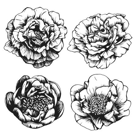 Conjunto de rosas altamente detalladas dibujados a mano. Vector
