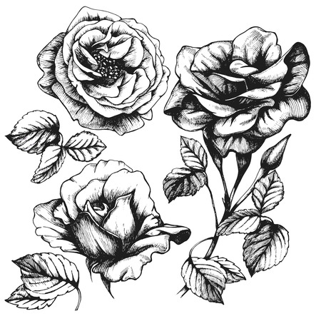 rose: Set of highly detailed hand-drawn roses.