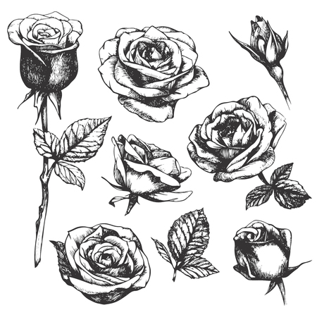 Set of highly detailed hand-drawn roses. Vector Vectores