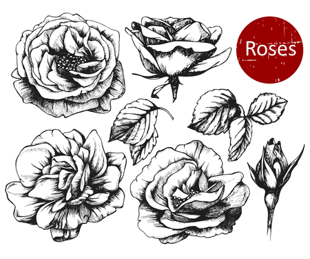 highly: Set of highly detailed hand drawn roses. Vector