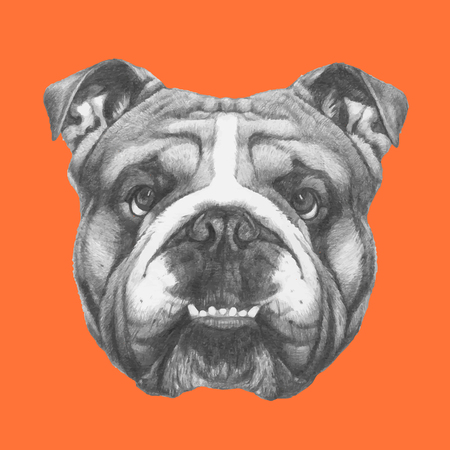 Hand drawn portrait of English Bulldog. Vector. Illustration