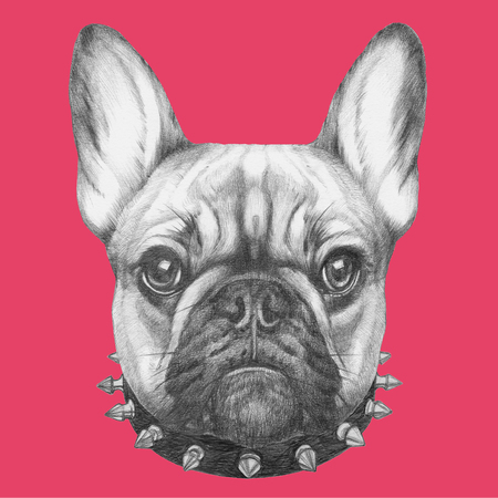 frenchie: Original drawing of French Bulldog with collar. Isolated on colored background.