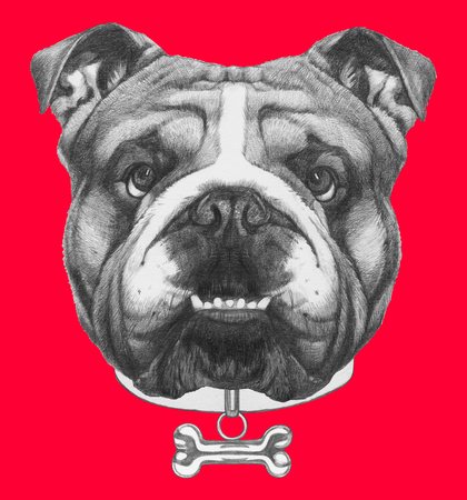 Original drawing of English Bulldog with collar. Isolated on colored background.