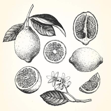 レモンの手描きイラスト。ベクトル