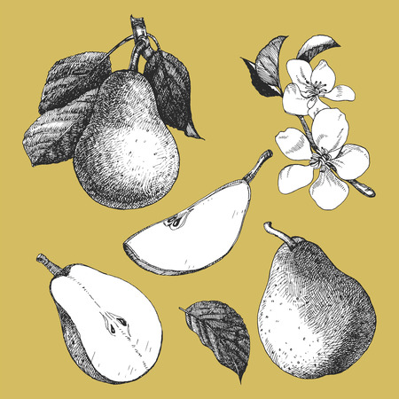 Hand-drawn illustration of Pear. Vector