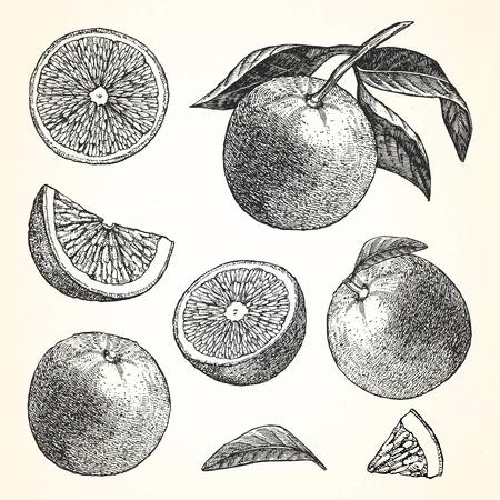 Hand-drawn illustration of Orange. Vector
