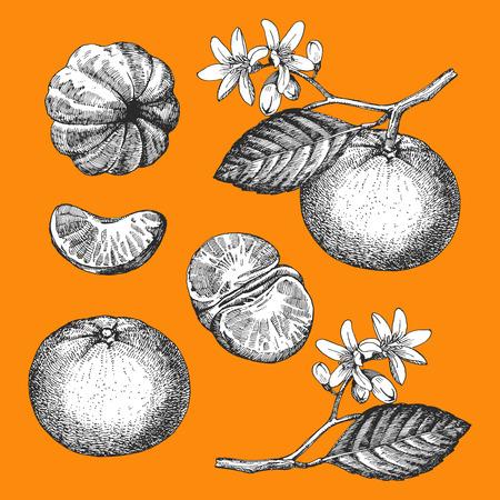 Hand-drawn illustration of Mandarin. Vector Illustration