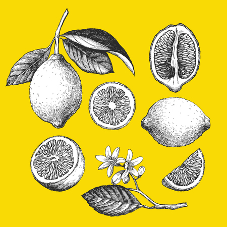 Hand-drawn illustration of Lemon. Vector
