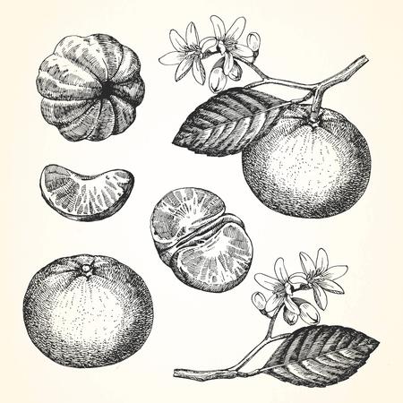 exotic fruit: Hand-drawn illustration of Mandarin. Vector Illustration