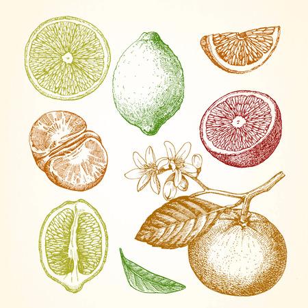 柑橘系の果物の手描きイラスト。レモン、オレンジ、マンダリン。ベクトル。