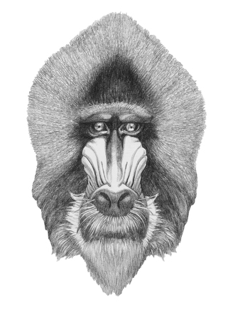 Portrait of Mandrill. Hand drawn illustration. Stock Photo