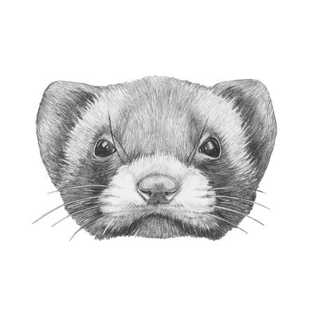 stoat: Portrait of Least Weasel. Hand drawn illustration.
