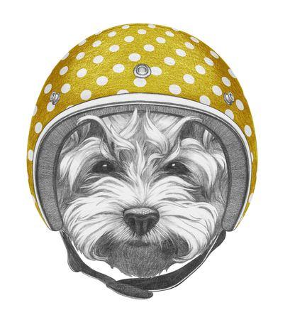 Portrait of Maltese Poodle with Helmet. Hand drawn illustration.